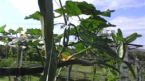 fruit organic vertical gardening australia