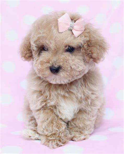 poodle puppy for sale poodle puppy for sale in south florida sweet jouets caniches