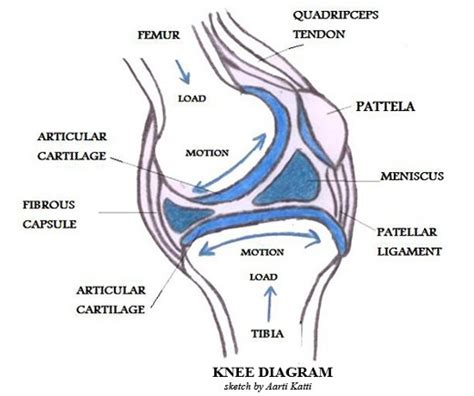 parts of knee diagram diagrambones and joints
