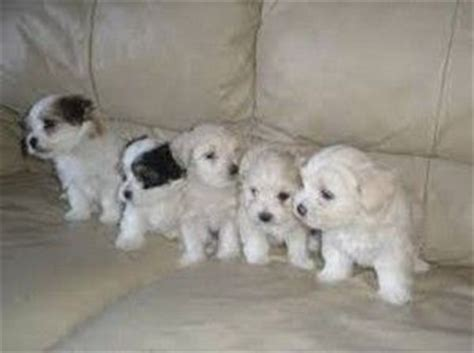 teacup havanese puppies for sale in 1000 ideas about havanese puppies for sale on havanese puppies