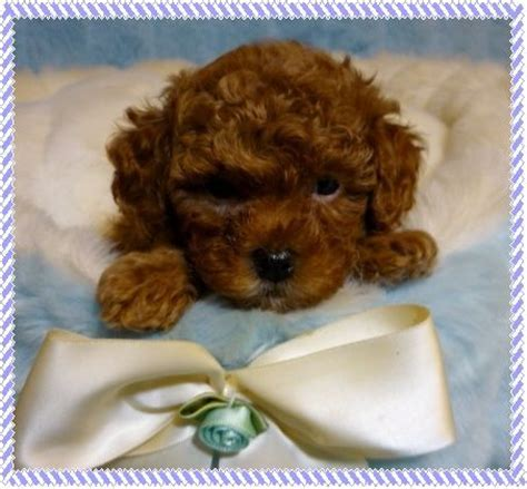 brown maltipoo puppies teacup maltipoo puppies search results global news ini berita