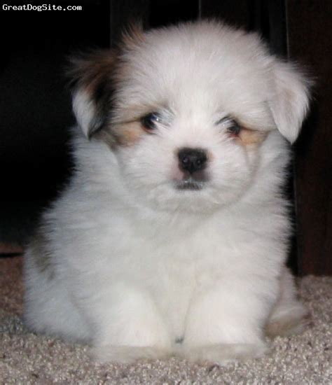 happy grove shih tzu 1000 images about shorkie puppies on shorkie puppies for sale shorkie