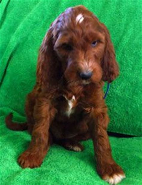 irish setter poodle mix pin by danicia case on animals dogs pinterest