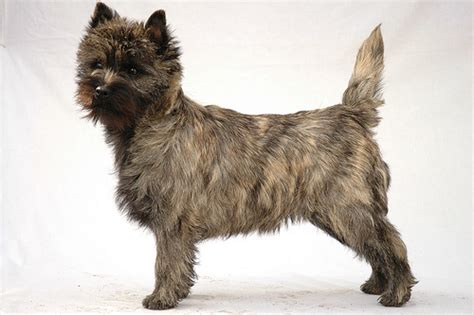 brindle cairn haircut kramers zorro one of my cairn terriers this photo is