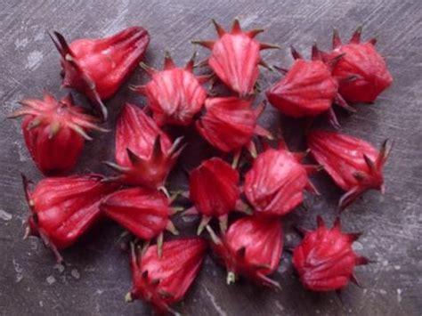 Bibit Rosella bunga rosella the knownledge