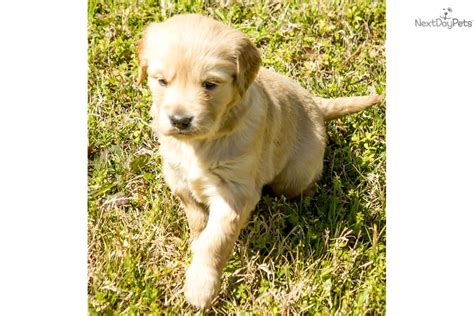 golden retriever breeder houston golden retriever puppy for sale near houston 3d936661 f251