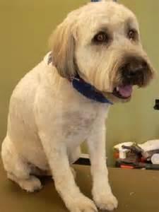 soft coated wheaton terrier haircuts paws relax mobile grooming soft coated wheaten terrier