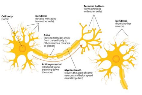 neuron diagram labeled labelled diagram of a motor neuron impremedia net