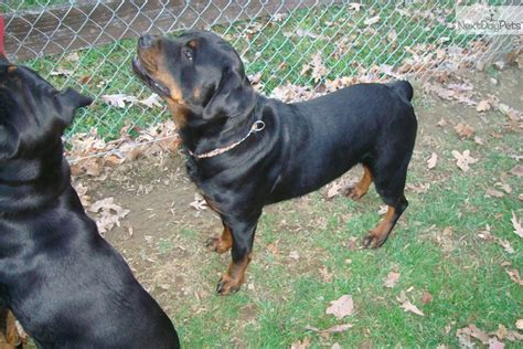 puppies for sale in state college pa 6 months american rottweilers breeds picture