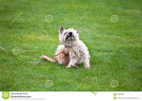 scratching no fleas with fleas royalty free stock images image 29892999