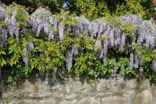 l wisteria growing wisteria in zone 3 types of wisteria for cold