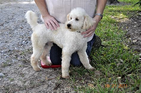 mini poodle grown grown poodle www imgkid the image kid has it