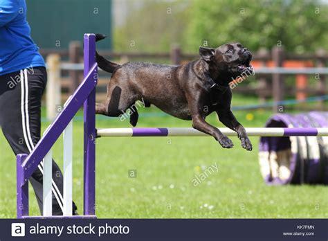 rottweiler x bull terrier labrador rottweiler stock photos labrador rottweiler stock images alamy