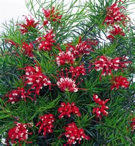 Flower Garden Plants Grevillea Plants