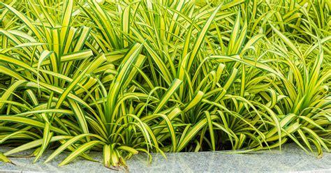 spider plant spider plant aspca