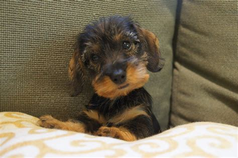 miniature dachshund puppies willow springs miniature wirehaired dachshunds