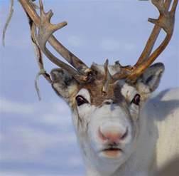 scientific reason reindeer red noses science smithsonian