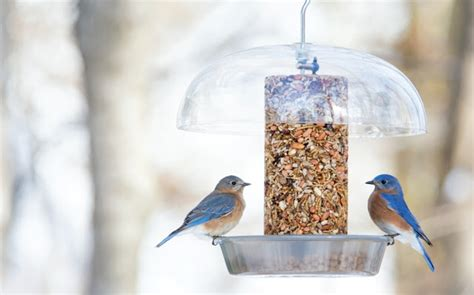 wild birds unlimited what to feed bluebirds in the winter