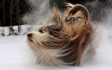 fluffy dogs fluffy wallpapers and images wallpapers pictures photos