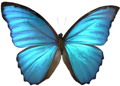 Butterfly Blue free blue butterfly free clip free clip