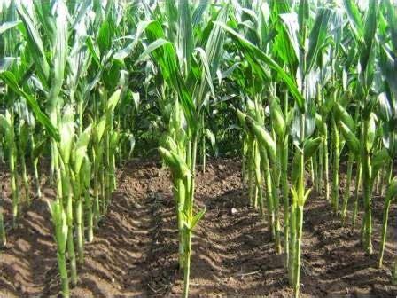 Jual Jagung Pakan Ternak gambar jual jagung hasil pertanian lombok nusa tenggara