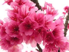 cherry blossom color cherry blossom flowers flowers wallpapers