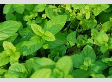 Swap Desktops with Each Other with Our Reader Wallpaper ... Mint Leaves Wallpaper