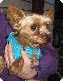 yorkie oregon teddy adopted salem or yorkie terrier