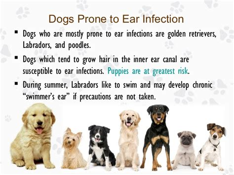 inner ear infection in dogs ear infection in dogs causes treatments and prevention