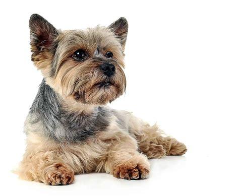 about yorkies terrier terrier charakter yorka i predyspozycje do chor 243 b