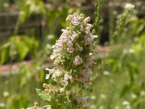 mosquito repellent plants catmint