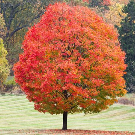 sugar maple tree fast growing trees