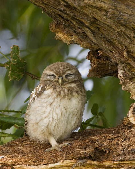 Sleepy Owl sleepy owl photograph by paul scoullar