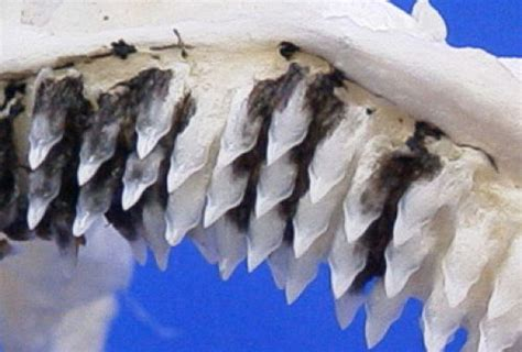 Greenland Shark Teeth Structure - www.Shark-Pictures.com