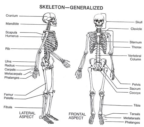 human bone diagram labeled diagram of the skeleton anatomy human