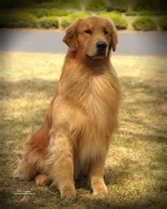 golden retriever puppy tips best 25 grooming golden retriever ideas on grooming tips