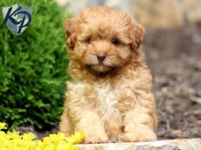 Dixie shihpoo puppies for sale in pa keystone puppies