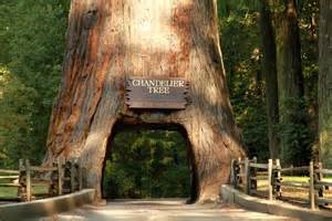 chandelier redwood tree panoramio photo of chandelier tree leggett ca