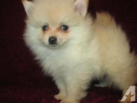 teacup pomeranian for sale in houston tx color home raised teacup pomeranian 6 months ckc for sale in houston