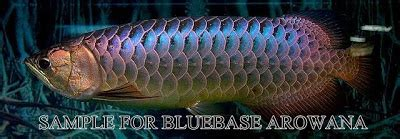 Fs Flourish Lama afs petshop blue base arowana for sale