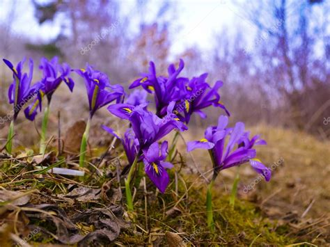 fiori di iris fiori di iris foto stock 169 karenfaljyan 70211033