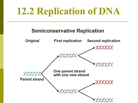 chapter 12 section 2 replication of dna chapter 12 2 dna replication