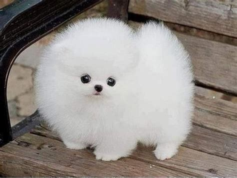 pomeranian husky grown weight 182 best images about white pome on mini pomeranian japanese spitz and
