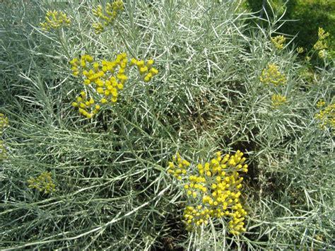 piante fiori gialli fiori gialli