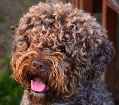 Types Of Dogs With Curly Hair by Best 25 Lagotto Romagnolo Ideas On Teddy