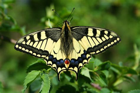 imagenes jpge file papilio machaon jpg1a jpg wikimedia commons