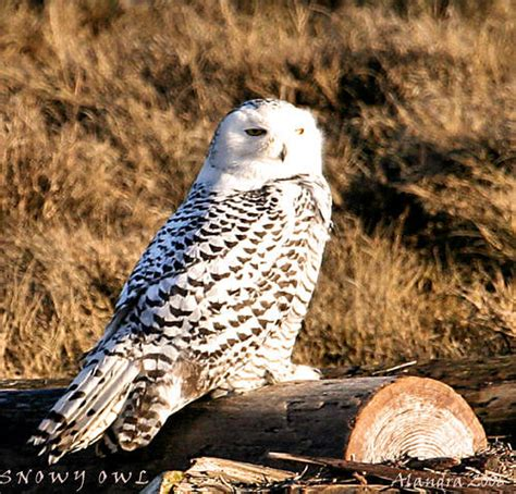 snowy owl natural habitat