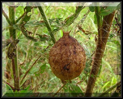 Yellow Garden Spider Egg Sac Egg Sac Of The Black And Yellow Orb Weaver Argiope