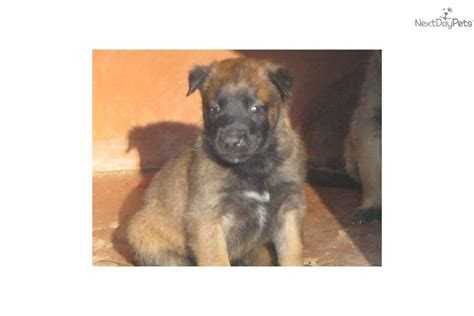 belgian malinois puppies for sale in nc belgian malinois puppy for sale near carolina e63369a2 3f31