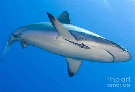 Shark Duvet Cover Gray Reef Shark With Remora Papua New Photograph By Steve